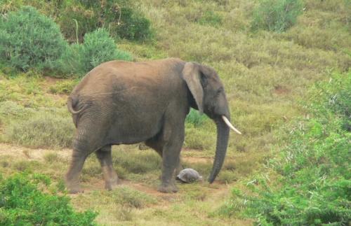 ElefantSchildkroete